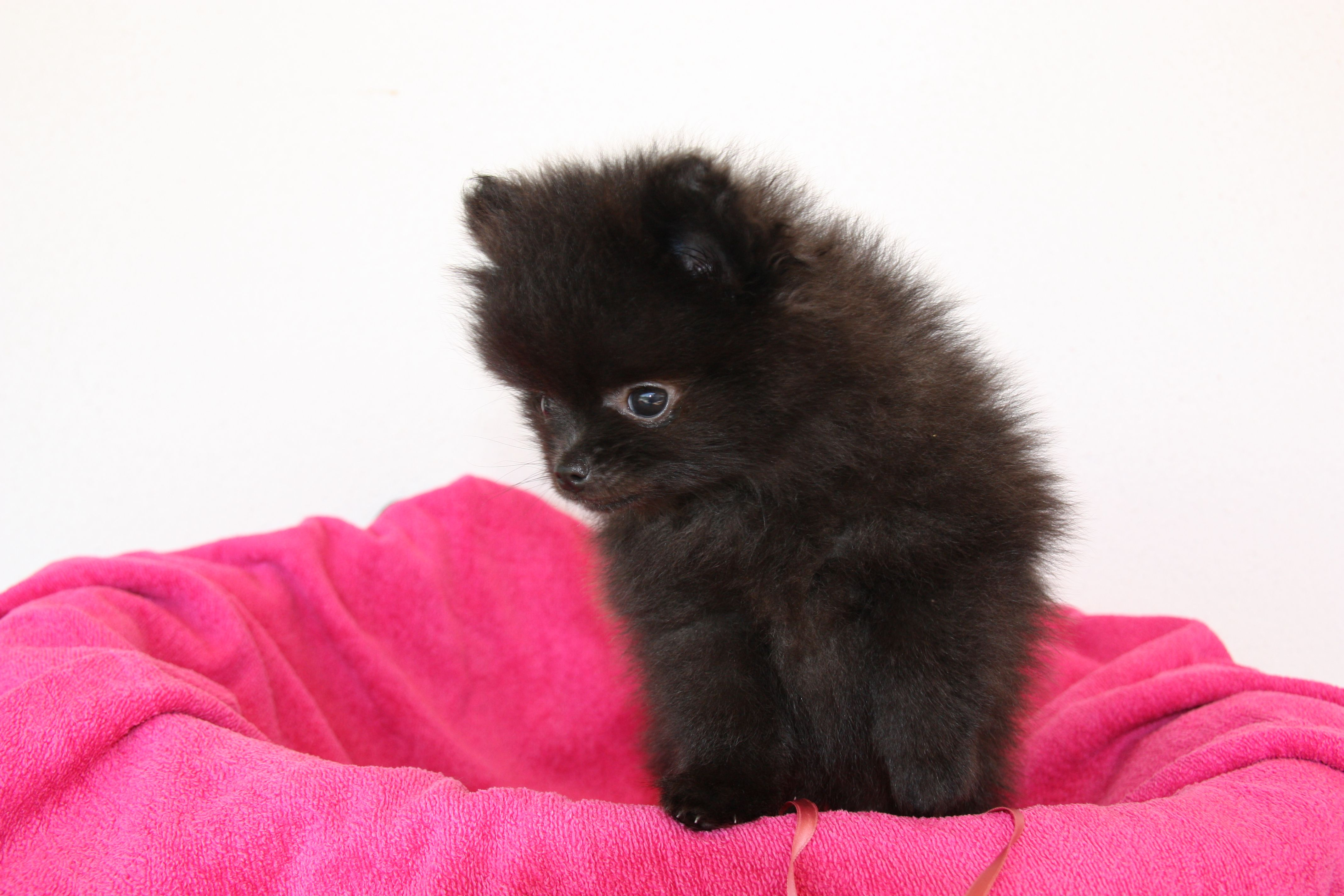 Black Pomeranian Girl 2 Months Old Black Pomeranian Fur Babies Pomeranian