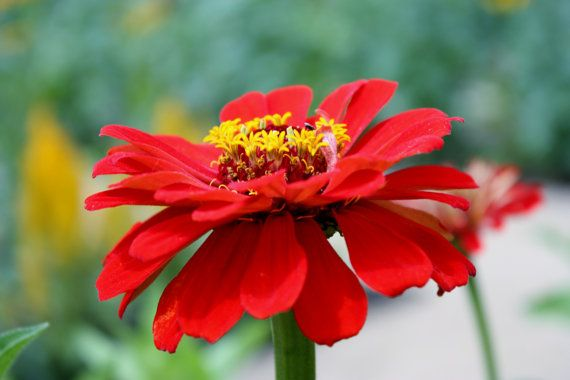 SALE  8x10 Canvas Red Zinnia Flower Shabby by JustforJoyPhotos, $35.00