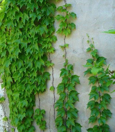 La ampelopsis enredaderas ampelopsis pinterest - Enredaderas de interior ...