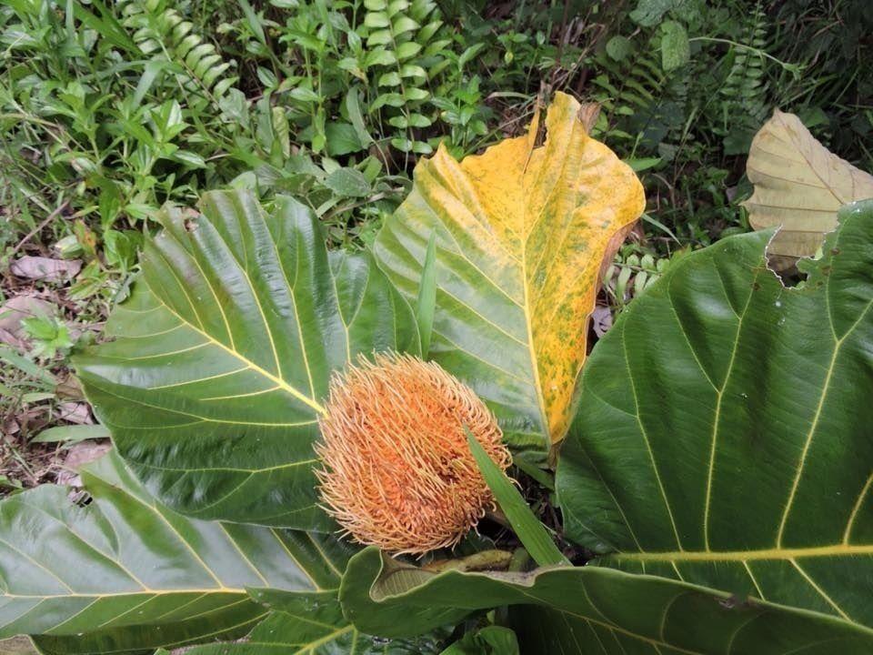 Pedalai - Jardim Exótico - O maior portal de mudas e sementes do Brasil.