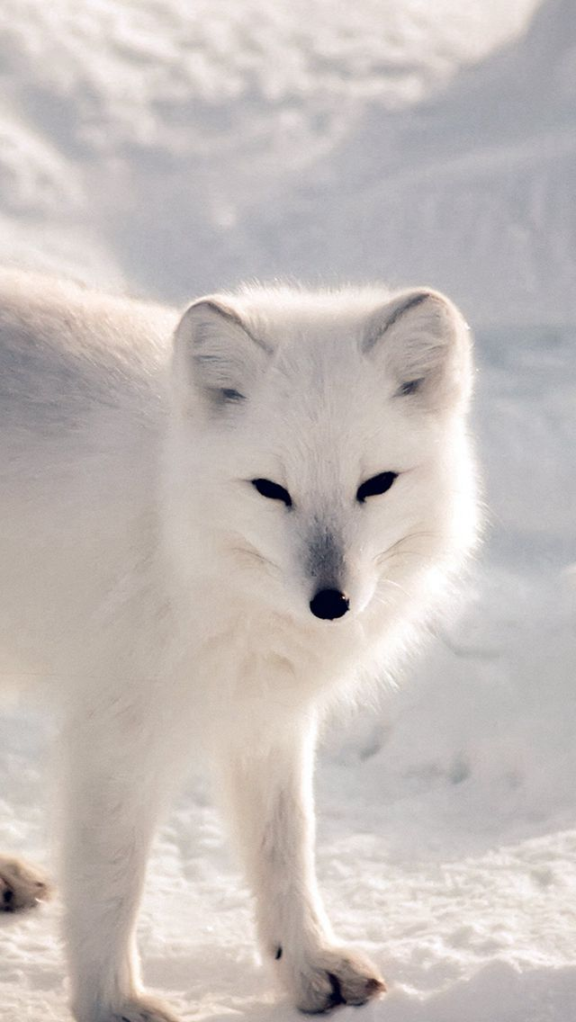 White Artic Fox Snow Winter Animal iPhone Wallpapers (With