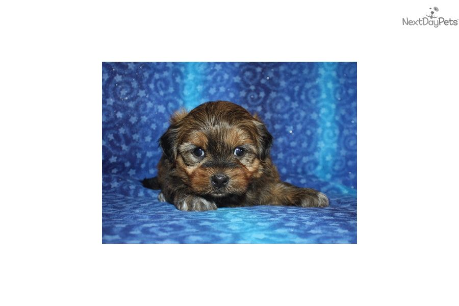 You'll love this Male Shichon puppy looking for a new home