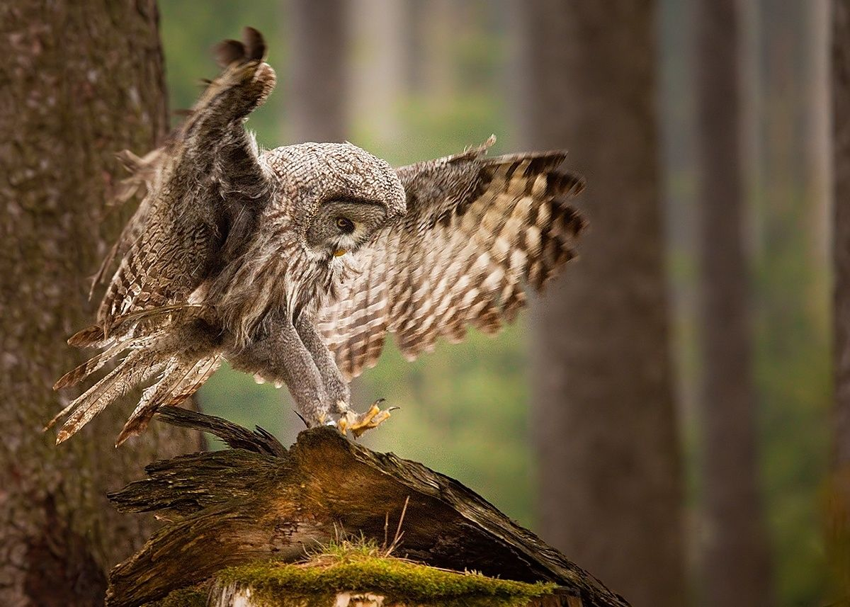 Great Grey Owl - null