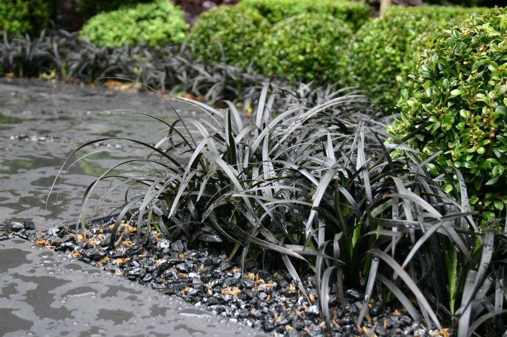 ophiopogon planiscapus 39 nigrescens 39 fekete k gy szak ll f f l k pinterest concrete. Black Bedroom Furniture Sets. Home Design Ideas