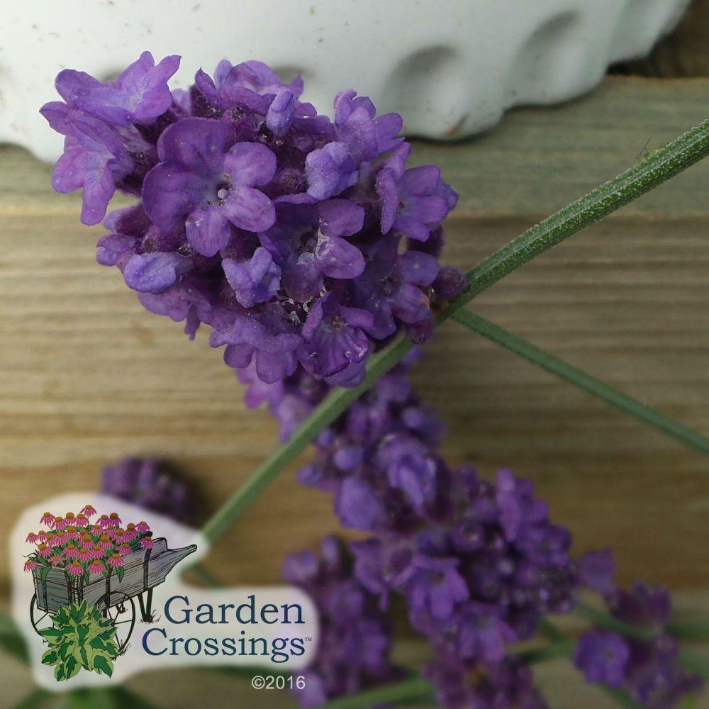 Lavandula Sweet Romance Buy Lavender Perennials Online Rabbit Resistant Plants Lavender Plant Lavandula