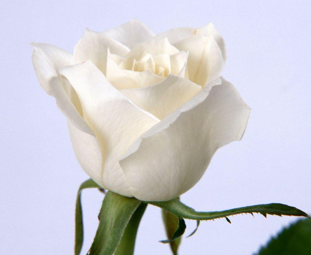 Rosas Blancas Wallpaper Only Roses Pinterest White Roses
