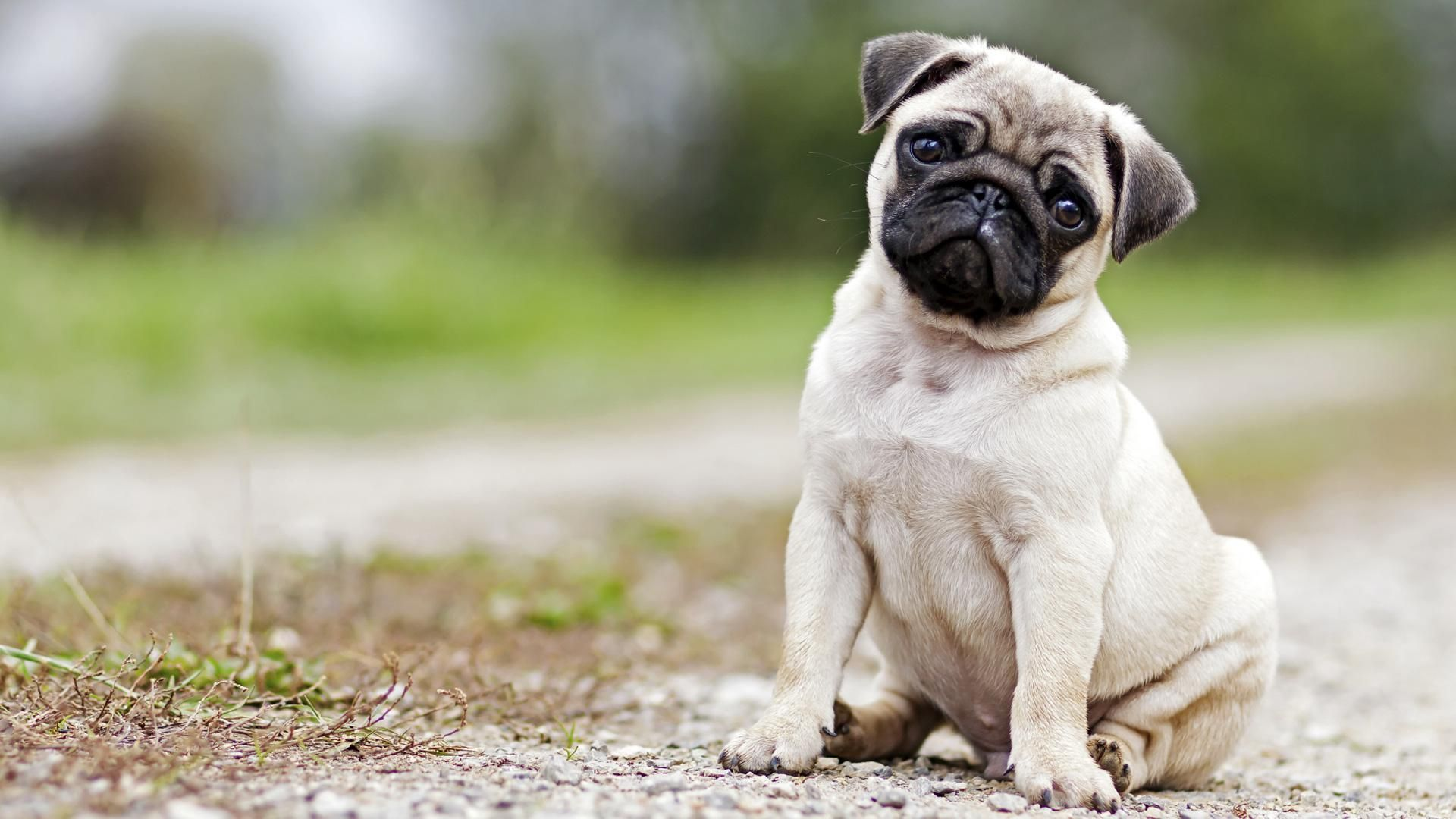 Pug Puppies Should Rule The World And This Video Proves It 1920