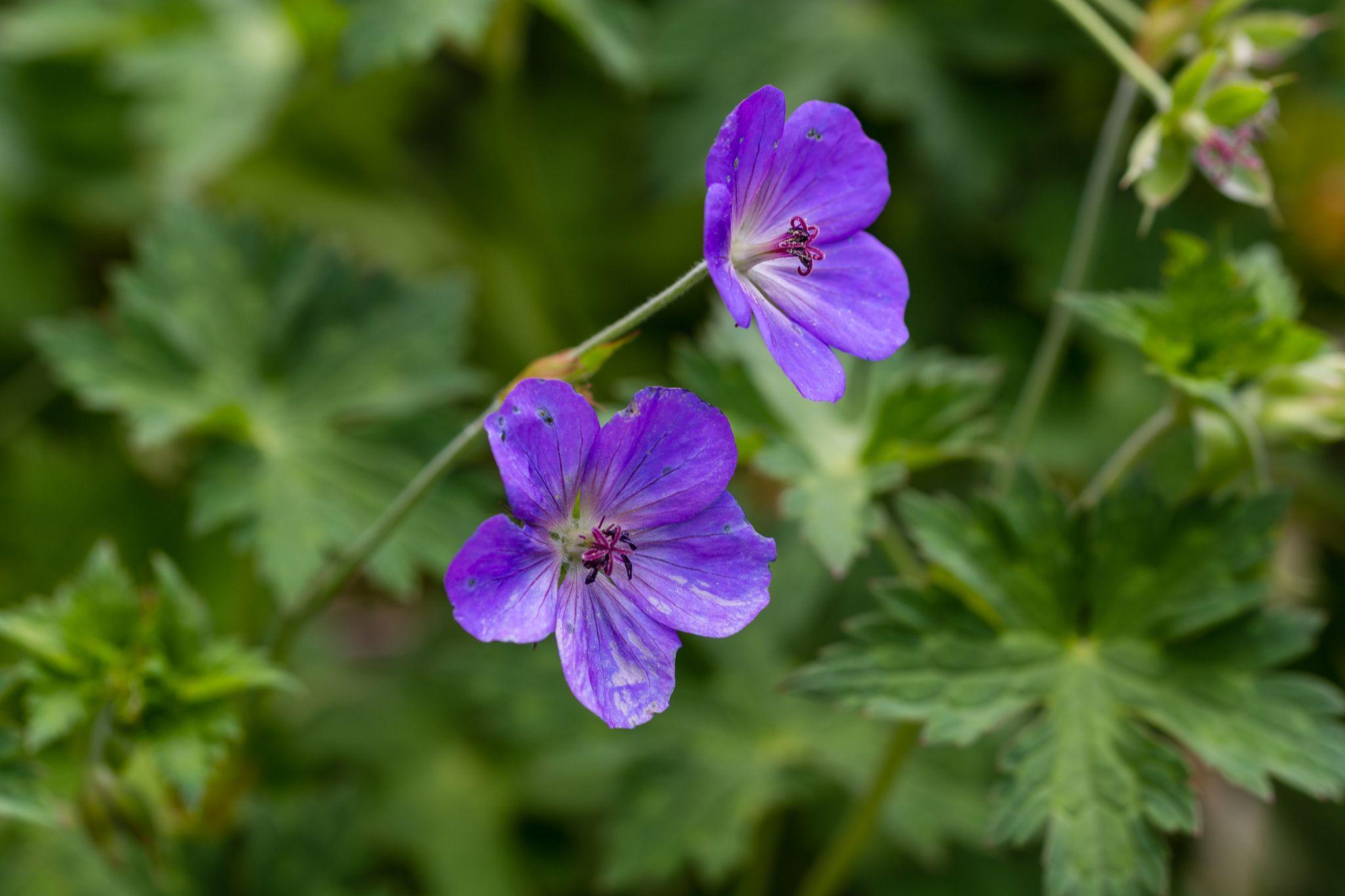 Geranium Wallichianum - Flores de jardín