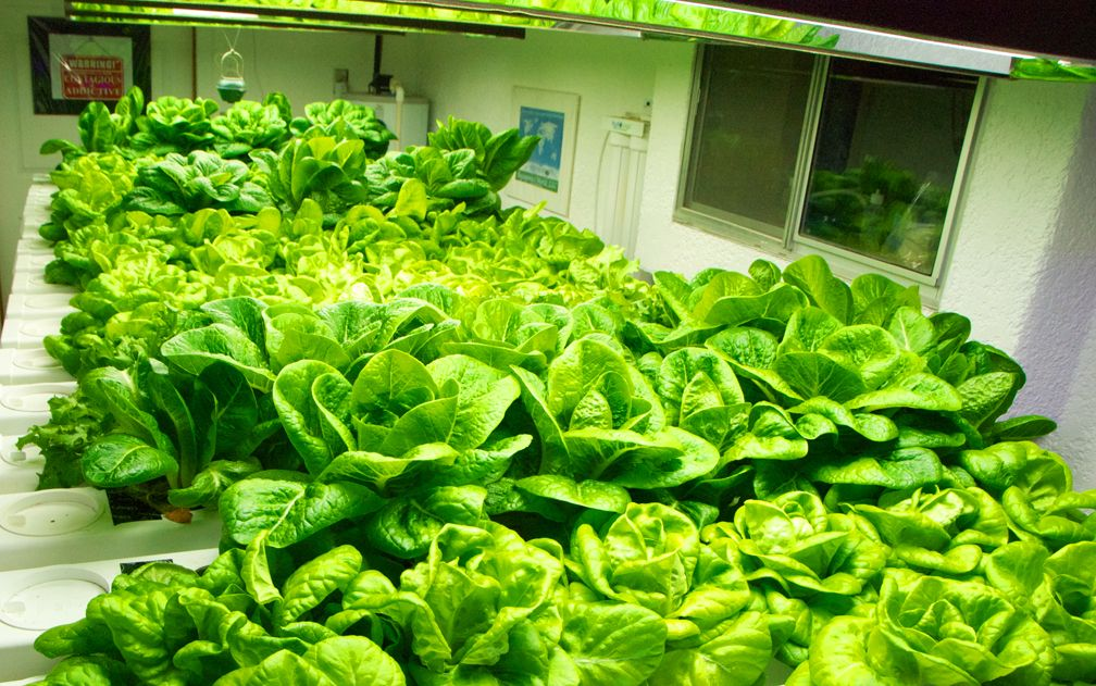 how to grow lettuce indoors under lights