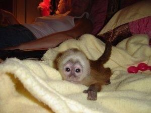 Baby Capuchin Monkey Pet | Cute Babies | Pet monkey for sale