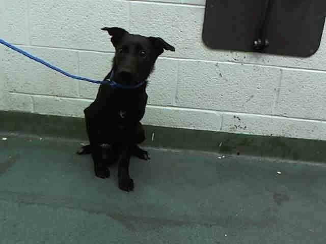 GALLEGA (A1636482) I am a female black and white Labrador