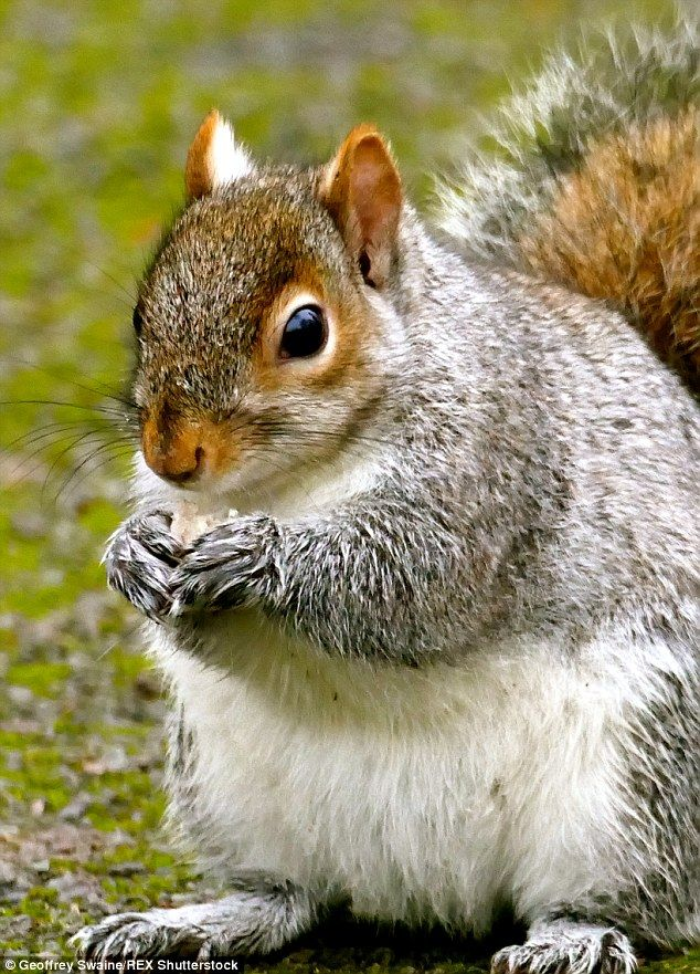 Tubby squirrel knows where the nibbles are hidden