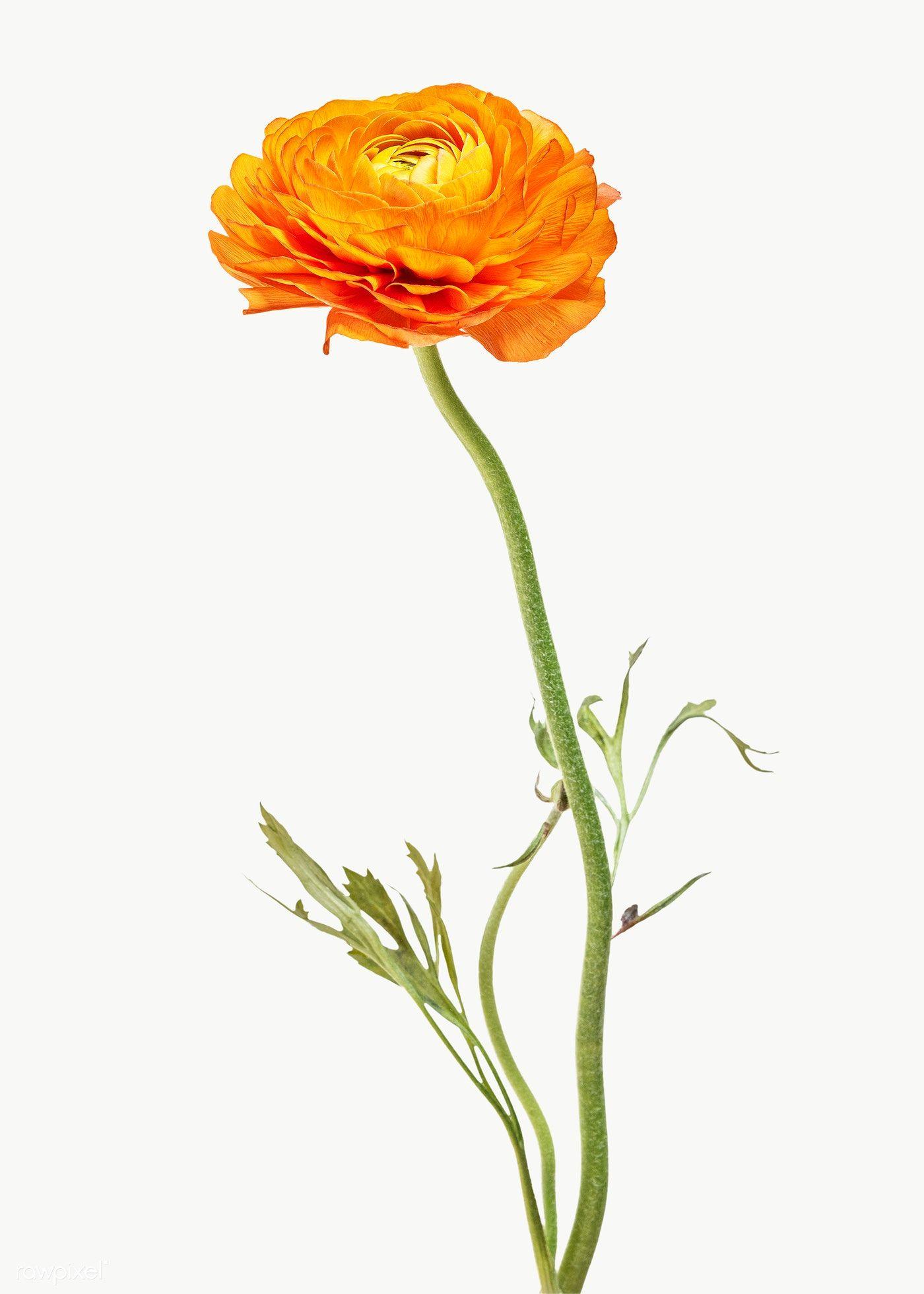 Bright Orange Ranunculus Flower Transparent Png Free Image By Rawpixel Com Teddy Rawpixel Macro Photography Flowers Orange Ranunculus White Lily Flower