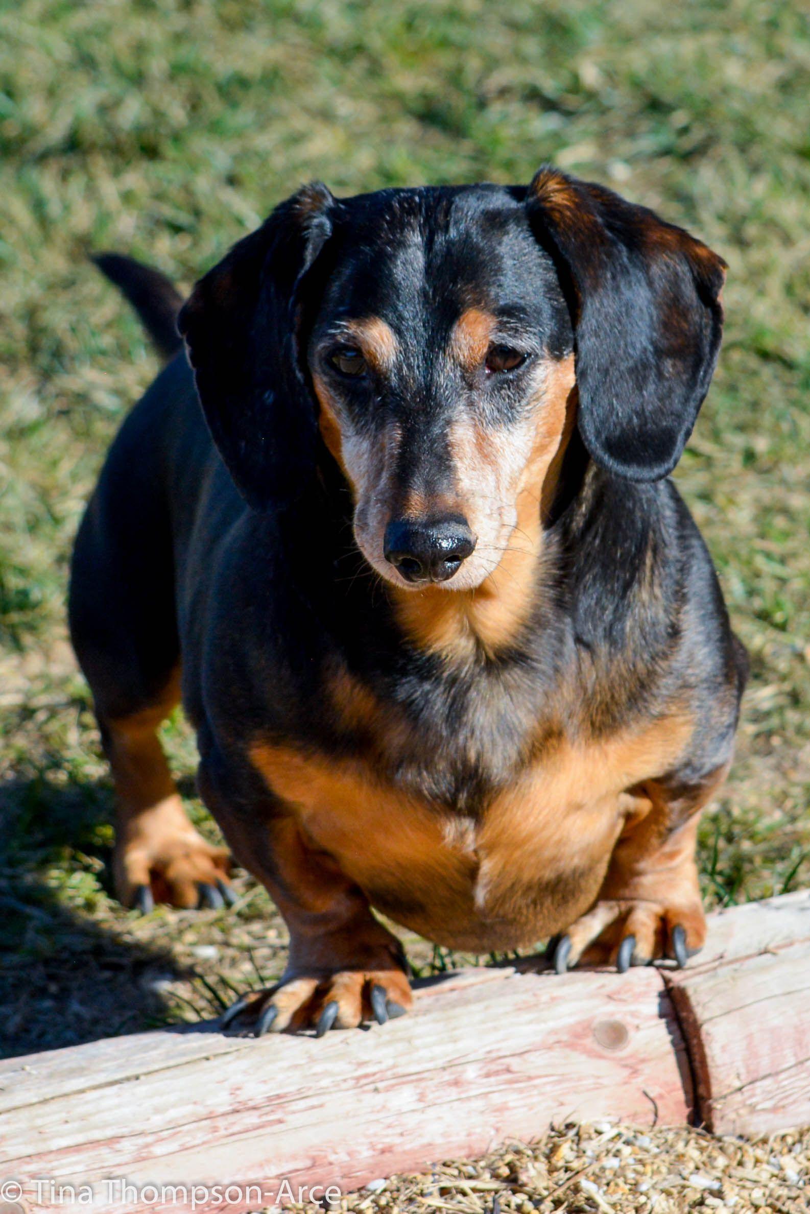 Dachshund Dog For Adoption In Hesperia Ca Adn 769201 On