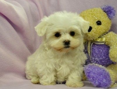 Snow White Pocket Pets Lovable Furry Friends Dogs Pets Pocket Pet