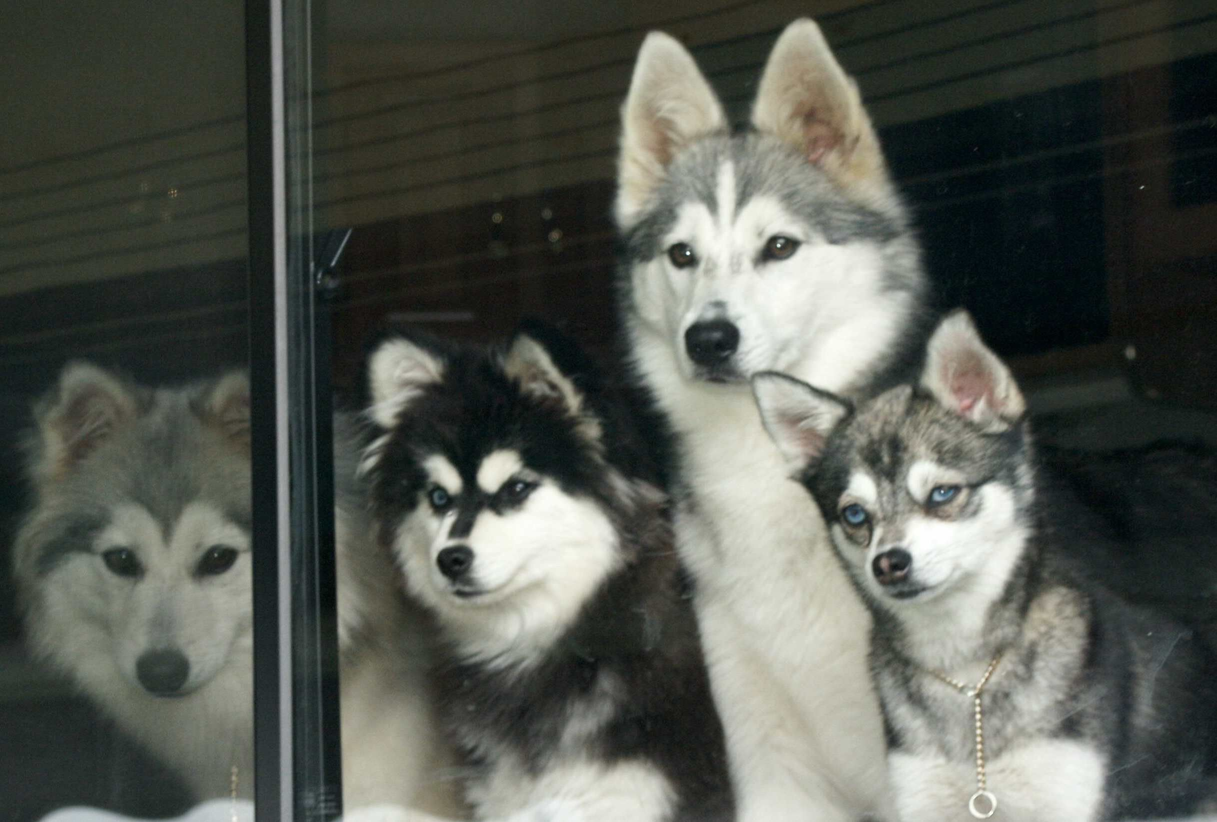 Alaskan klee kai want one of these dogs please check out