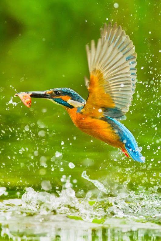 Kingfisher by Sue Hsu on 500px.... Eisvogel, Vögel als