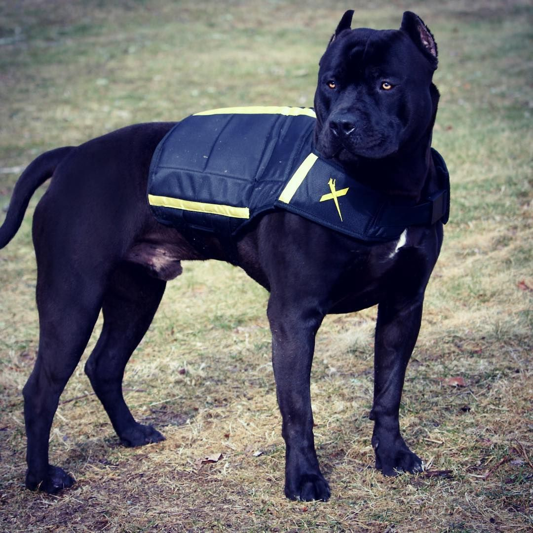 Prague In His New X Dog Weight Fitness Vest Xdogvest Xdp Xdogvest Blackandyellow Dogoftheday Beauty Beast Natural Genet Dog Weight Dogs Bully Dog