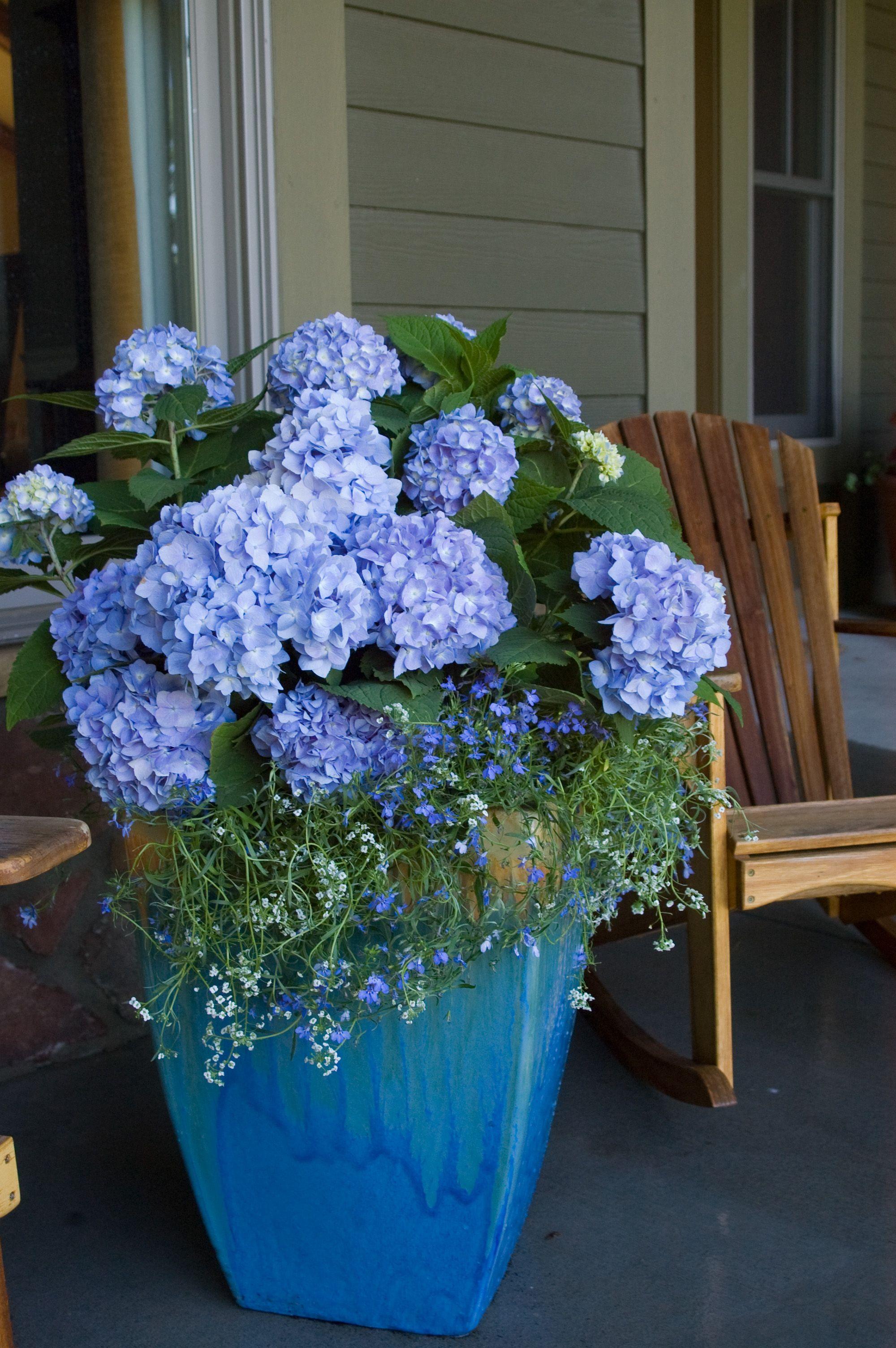 growing hydrangeas in pots garden