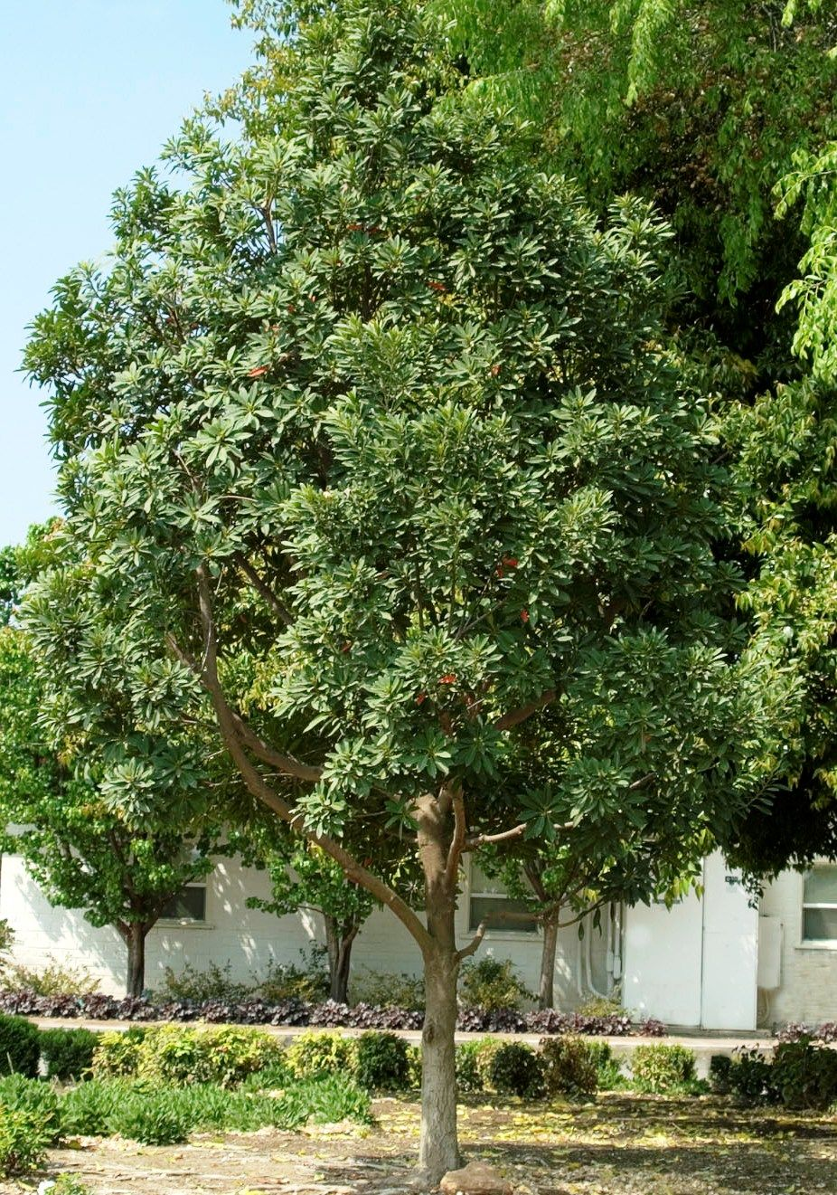 Japanese Blueberry Tree Shogun 174 Series Monrovia
