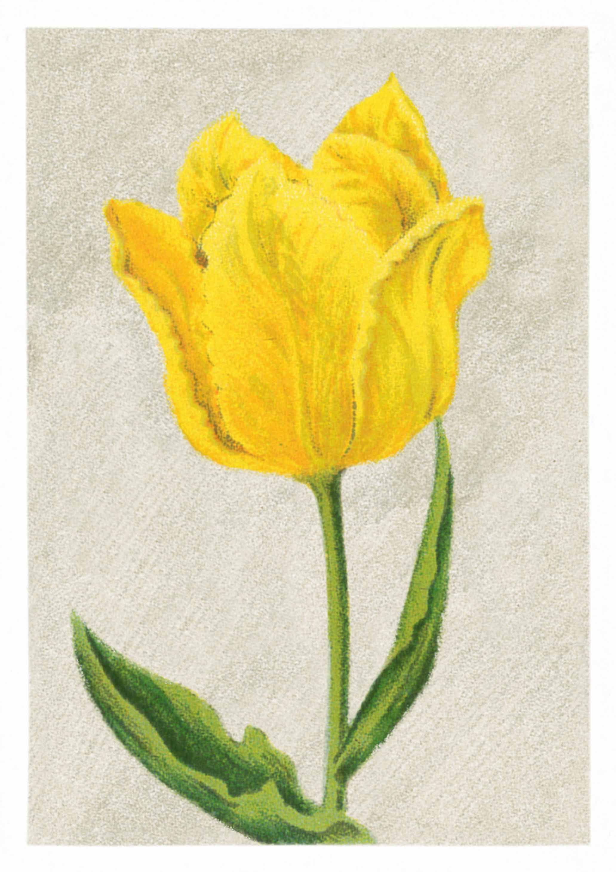 Tulip mon tresor lovely vintage flower drawing that is now available