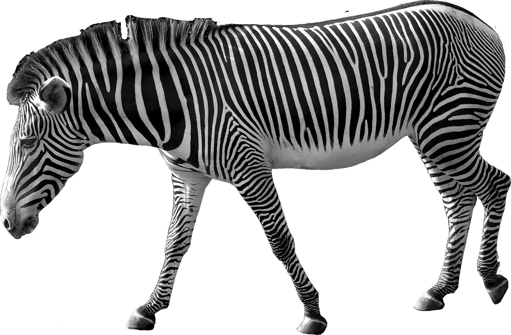 wild_side_element_3__1_.png (1725×1130) Zebra, Png