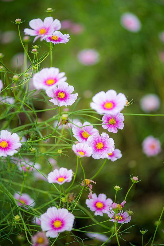 Cosmos Hinomaru Cosmos Flowers Amazing Flowers Beautiful Flowers
