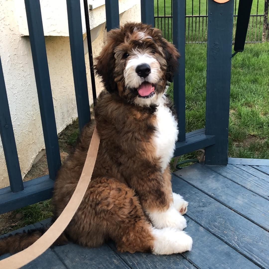 Bernedoodle Puppy Bernedoodle Full Grown Bernedoodle For Sale Bernedoodle Heart Bernedoodle Mi Bernedoodle Puppy Cute Dogs And Puppies Beautiful Dogs