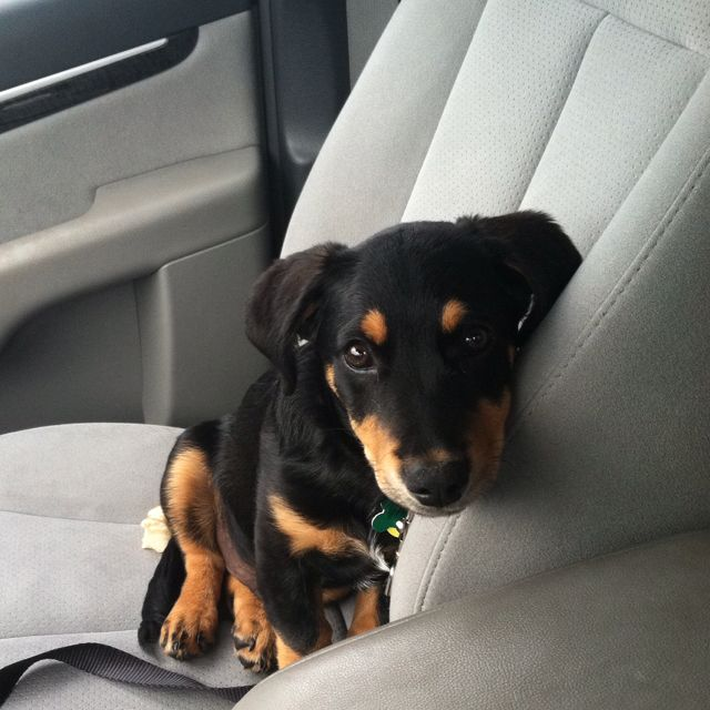 Dachshund Rottweiler Mix The Best Mix In The World Rottweiler Rottweiler Mix Dachshund Mix