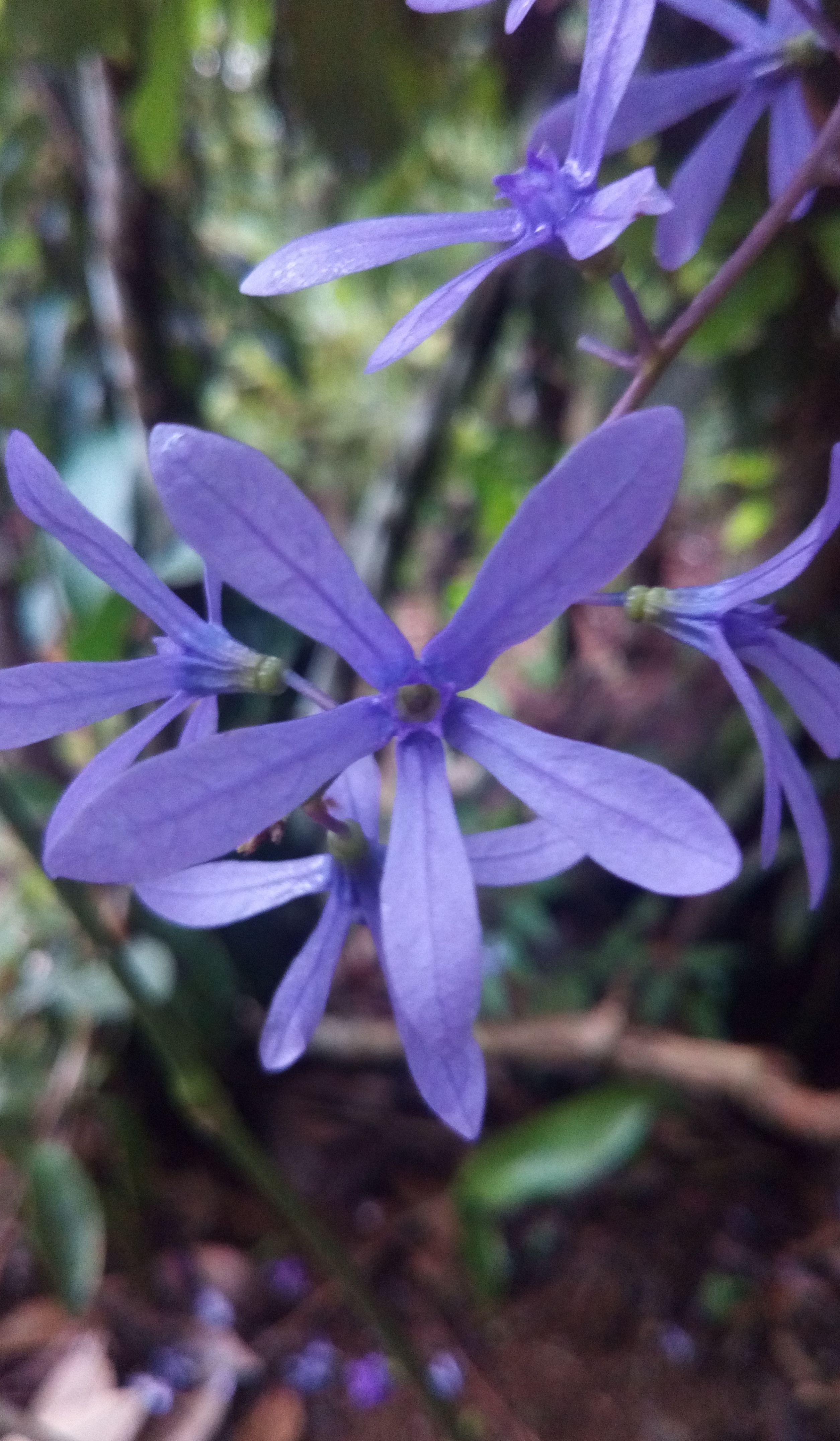 Volubilis Flor