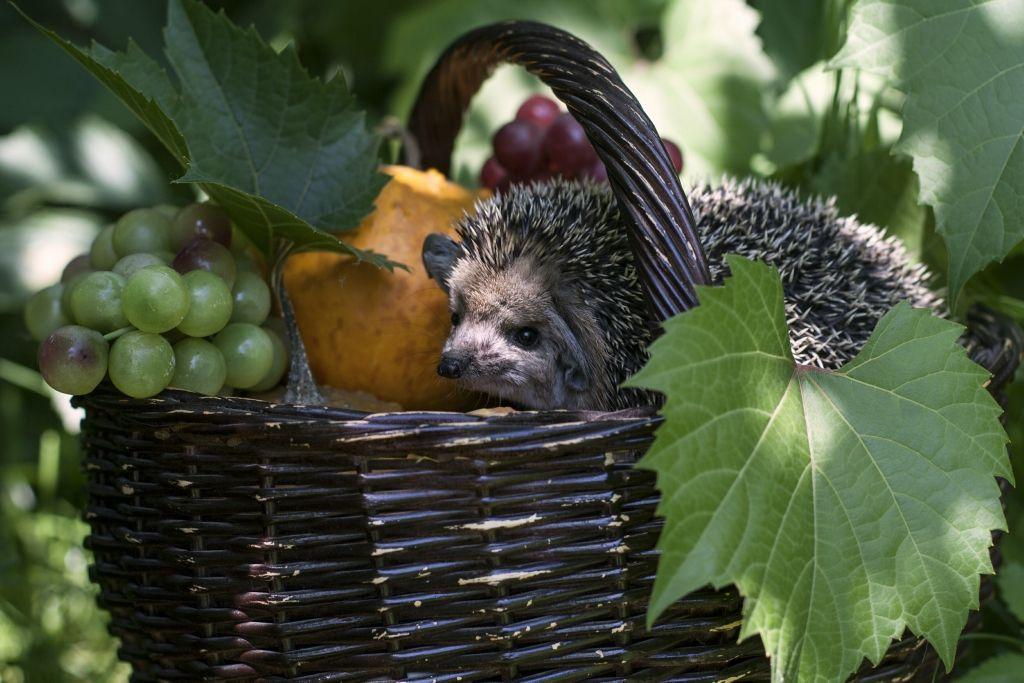 картинка ежик с ягодками брянской области