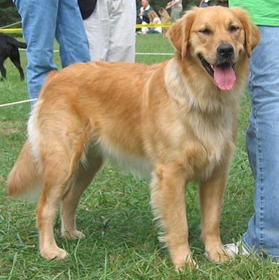 Golden Retriever Sporting Dogs Breeds Dogs Golden Retriever