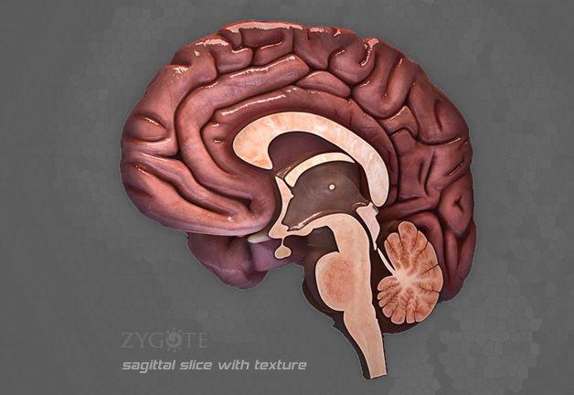 human brain sagittal slice anatomy \u0026 physiology brain models