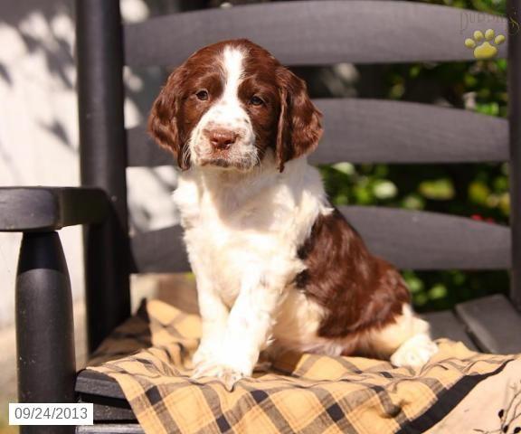 English Springer Spaniel Puppy for Sale English springer