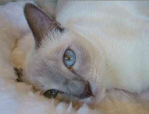 Tonkinese Kittens For Sale And Cat Breeder List Tonkinese Cat Siamese Cats Blue Point Burmese Cat