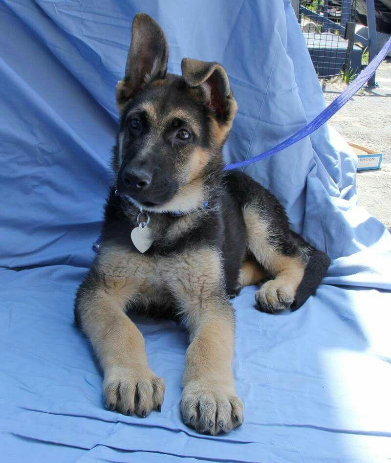 Gsd puppy baby german shepherds gsd puppies cute animals