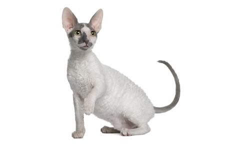 "If it weren't insulting, it might be fair to describe the Cornish Rex as ""doglike,"" as he's a willing retriever to thrown toys.  See all Cornish Rex Cat characteristics below!"