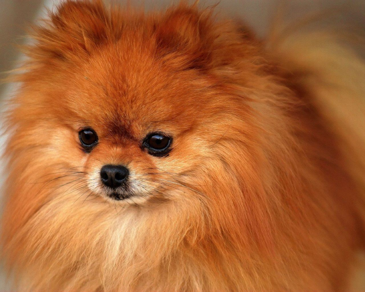 Dream journal dream fluffies ginger pomeranian dreamjournal pomeranian puppy i bet this is what bobos looked like as a puppy nvjuhfo Image collections
