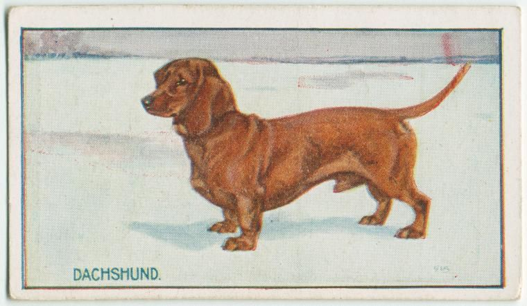 Dachshund. From New York Public Library Digital Collections.