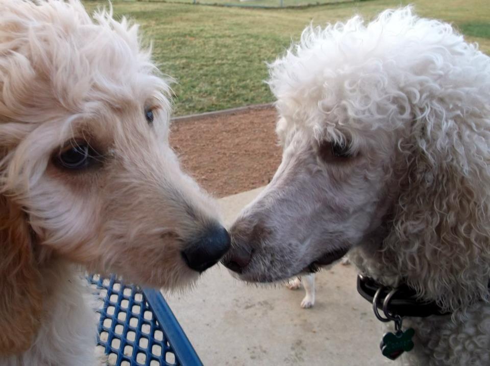 vincent meets a poodle