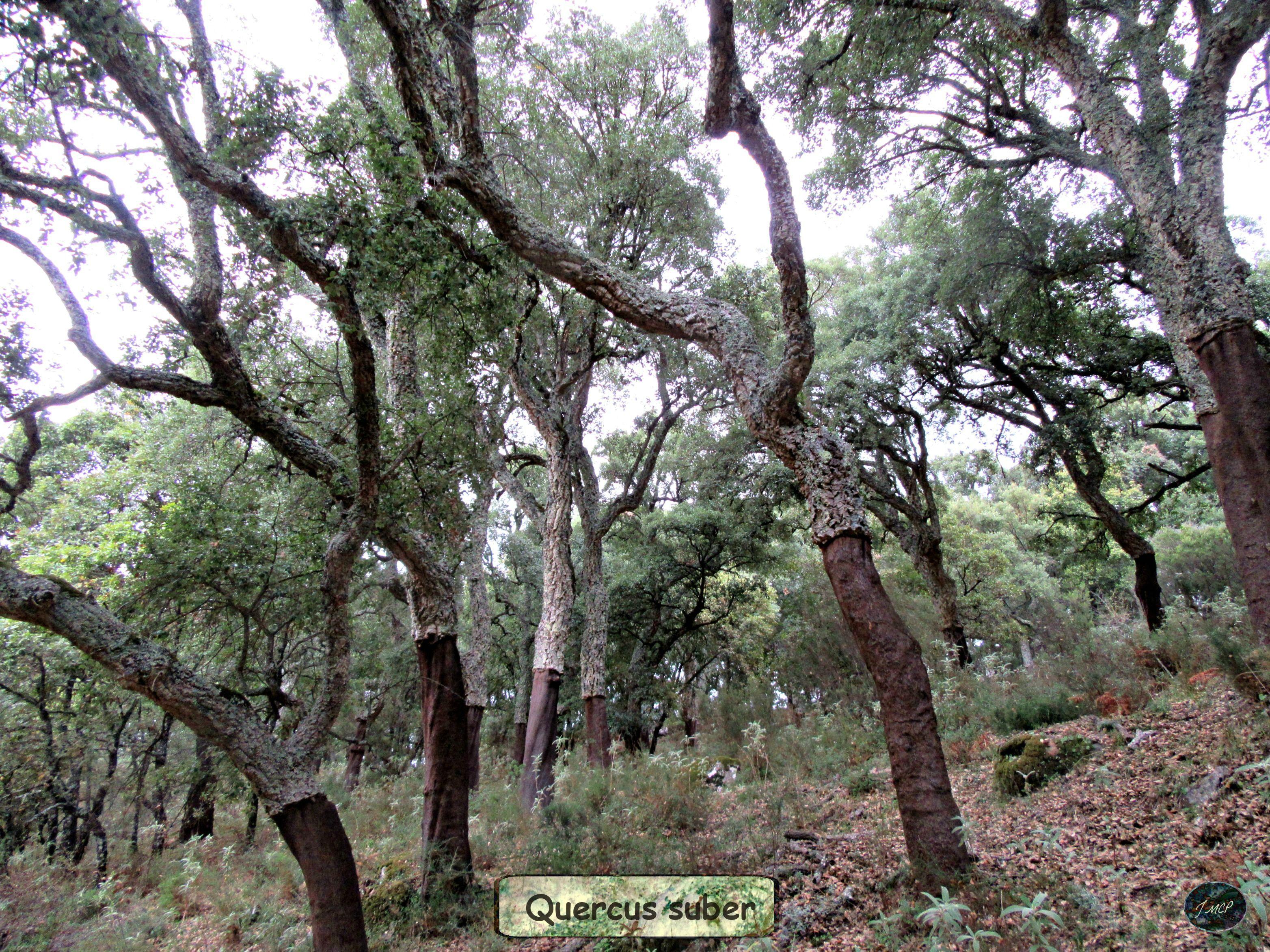 """Alcornocal (Quercus suber). Parque Natural """"Los Alcornocales"""". Andalucía, España."""