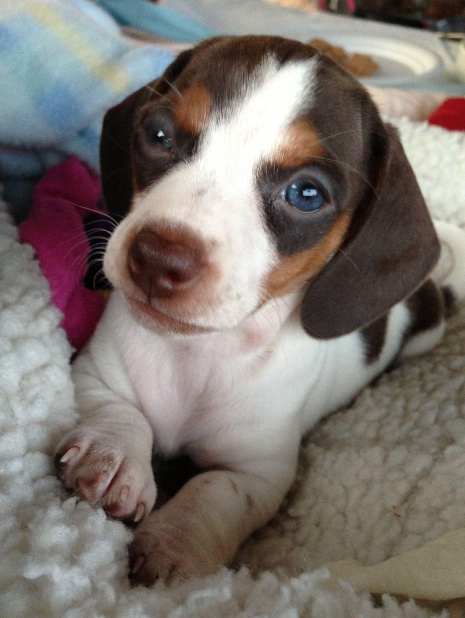 Mini Dachshund Piebald Puppy With Images Piebald Dachshund