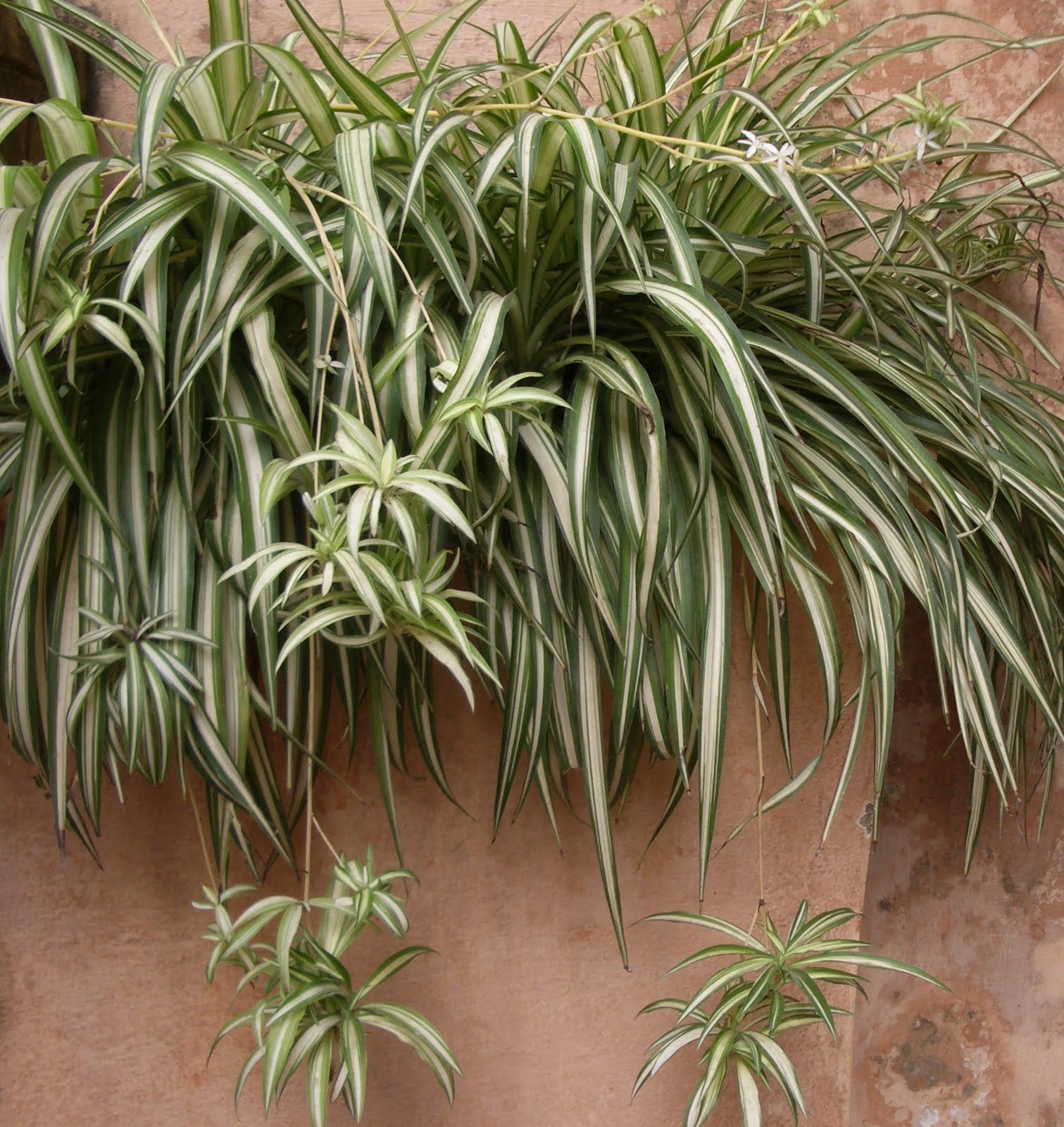 Growing Spider Plants Indoors: Spider Plant In A Box
