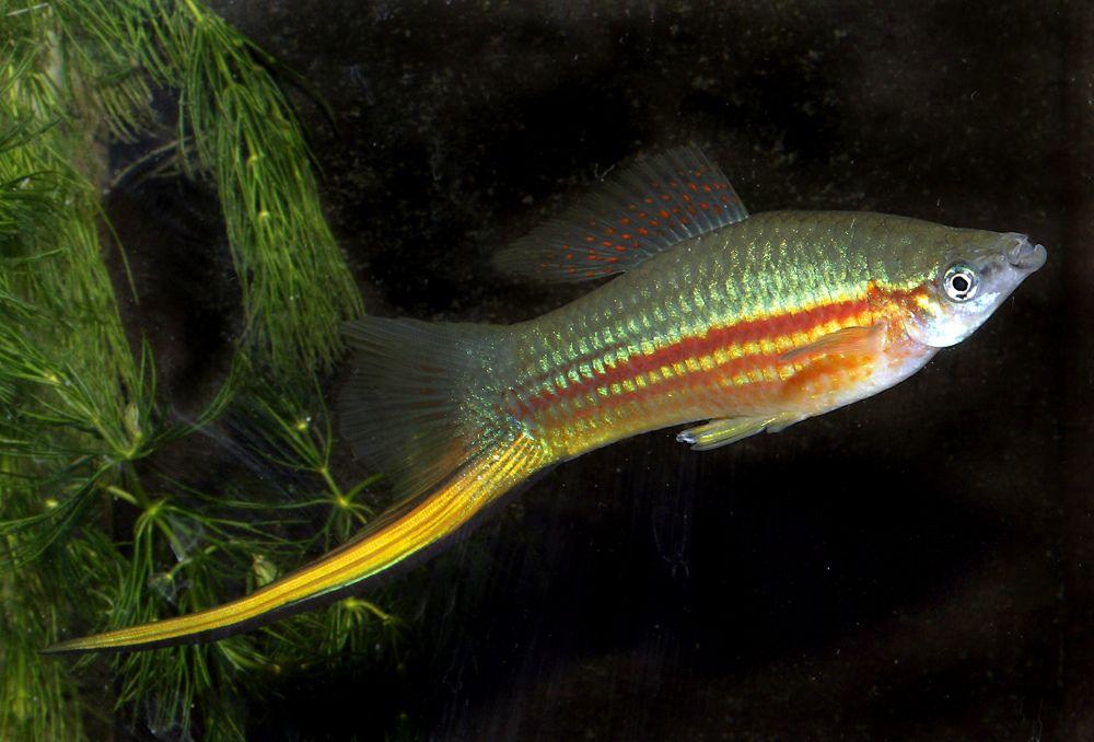 Green Swordtail (Xiphophorus hellerii) Balık, Kılıç, Balik