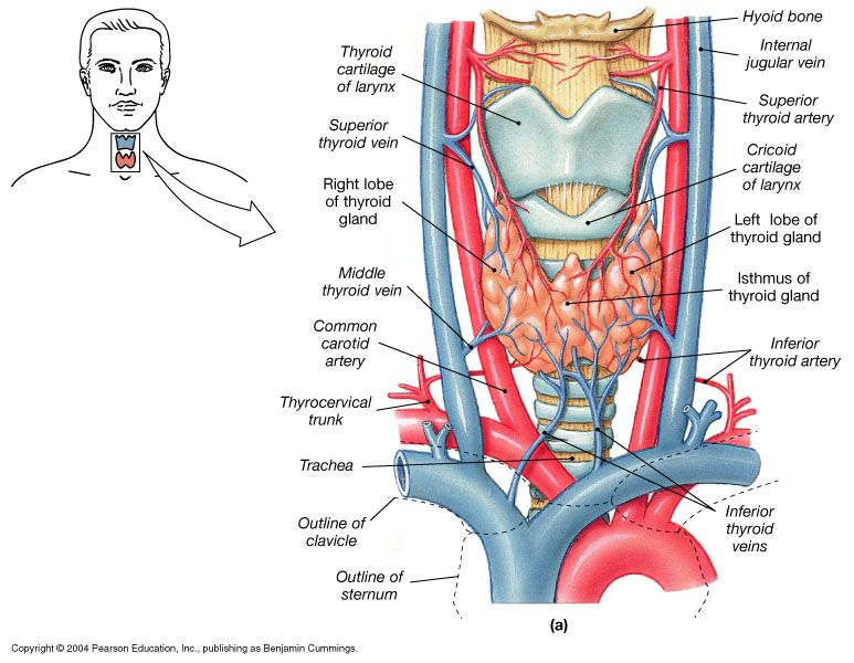 "anatomyandphysiology101: "" The thyroid gland is the largest gland in ..."