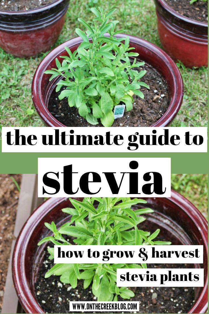 The Ultimate Stevia Guide Growing Stevia Stevia Plant Stevia