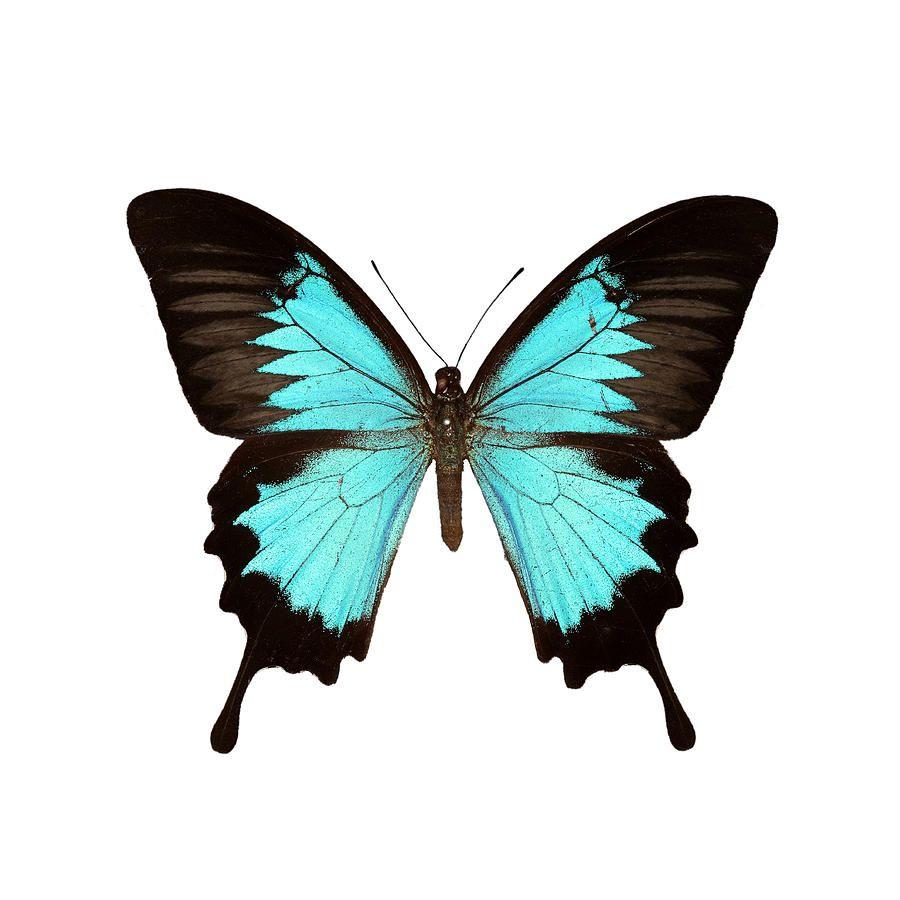 Papilio Montrouzieri Butterfly Canvas Print / Canvas Art