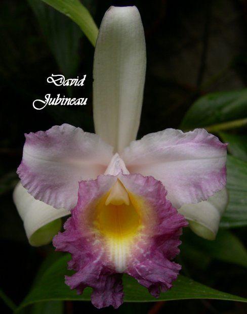 Orchid: Sobralia ecuadorana
