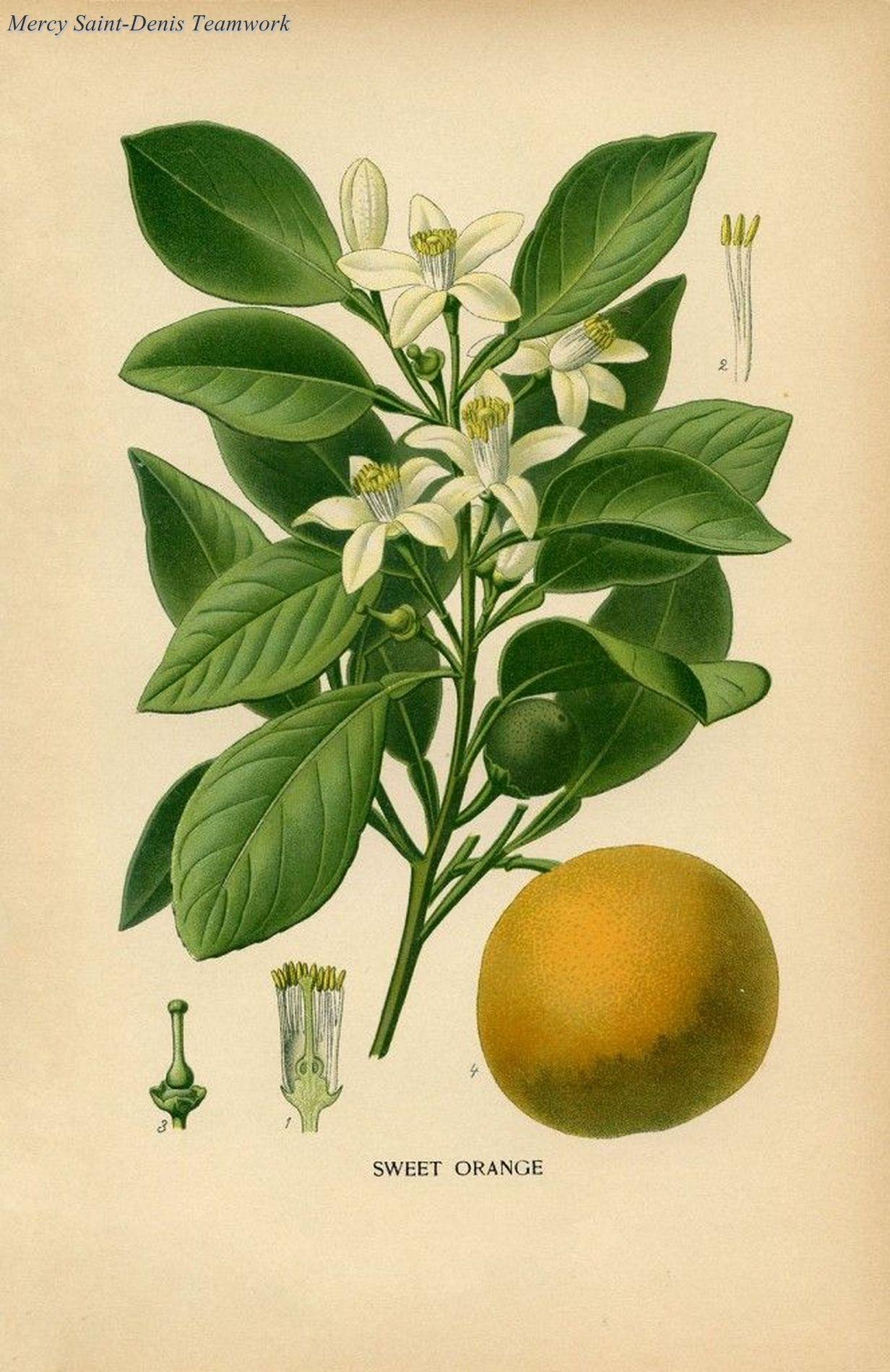Botanical Print Sweet Orange.   L'art des jardins et ...