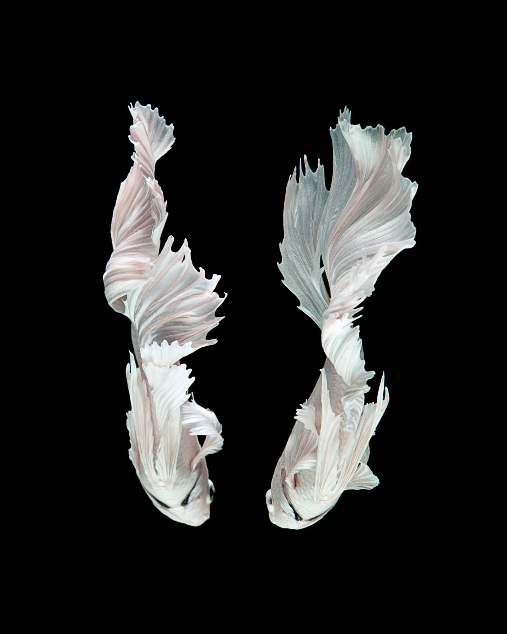 Fairy Tail Capture the moving moment of white siamese fighting fish
